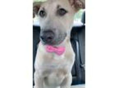 Adopt Tiberius a Tan/Yellow/Fawn - with Black German Shepherd Dog / Labrador