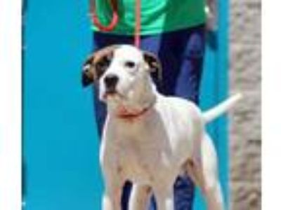 Adopt Jake a White Mixed Breed (Large) / Mixed dog in Charleston, WV (25468651)