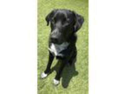 Adopt Casper a Black - with White Labrador Retriever / Australian Cattle Dog /