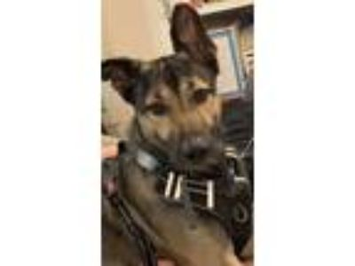 Adopt Titan a Black - with Gray or Silver German Shepherd Dog / Mixed dog in