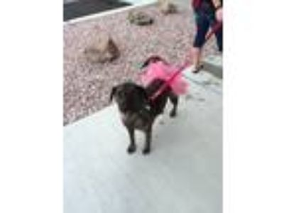 Adopt Brynn a Brindle Shepherd (Unknown Type) / Collie / Mixed dog in