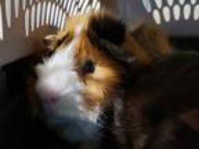 Adopt BINGO a Brown or Chocolate Guinea Pig / Mixed small animal in Maryland