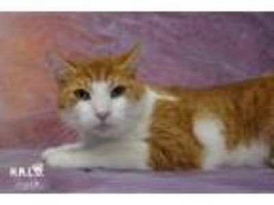 Adopt Gomez a Domestic Short Hair