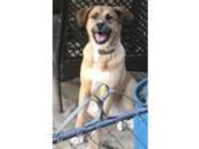 Adopt Coco a Tan/Yellow/Fawn Labrador Retriever dog in Temple Hills