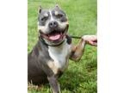 Adopt Charlotte a Gray/Silver/Salt & Pepper - with White Pit Bull Terrier /