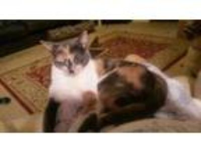 Adopt GiGi a Domestic Short Hair