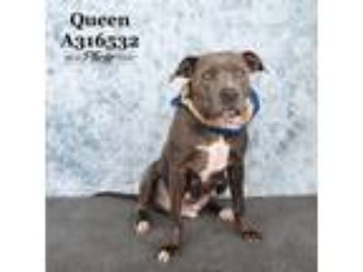 Adopt QUEEN a Pit Bull Terrier, Mixed Breed