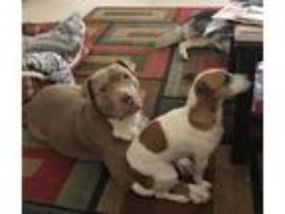 Adopt Max a American Staffordshire Terrier, Pit Bull Terrier