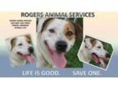 Adopt SCOOBY a White - with Brown or Chocolate American Pit Bull Terrier / Mixed