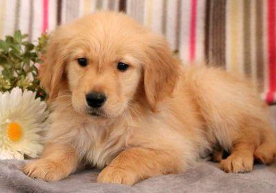 Golden Retriever PUPPY FOR SALE ADN-71284 - Golden Retriever Puppy for Sale