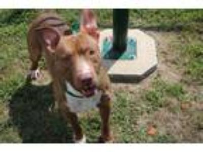 Adopt *RABBIT a Brown/Chocolate - with White Mixed Breed (Medium) / Mixed dog in