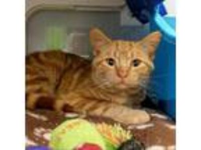 Adopt Vincent a Orange or Red Domestic Shorthair cat in Chaska, MN (25294601)
