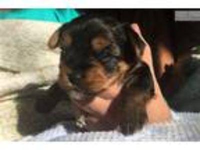 AKC Champion Bloodline Yorkie Puppy Ellie