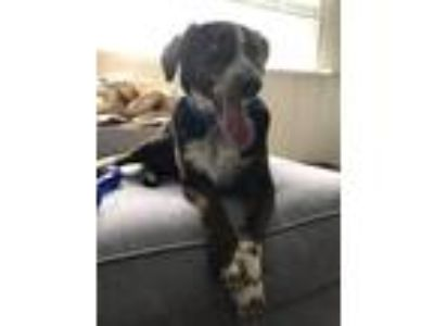Adopt Cooper a Black - with White Australian Shepherd / Mixed dog in New Oxford