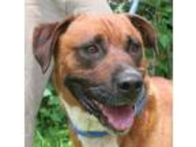 Adopt Camo a Red/Golden/Orange/Chestnut - with White Boxer / Labrador Retriever