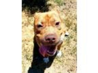 Adopt a Brindle American Pit Bull Terrier / Mixed dog in Modesto, CA (25357078)