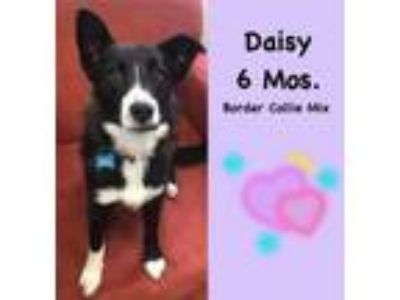 Adopt Daisy a Border Collie