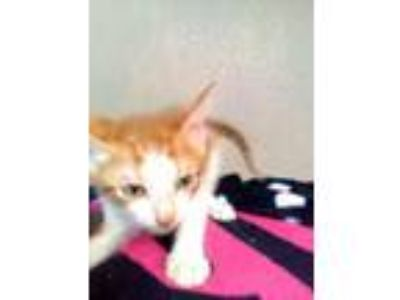Adopt Garfield a Domestic Short Hair