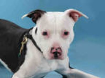 Adopt CHEEZ IT a White - with Black American Pit Bull Terrier / Mixed dog in