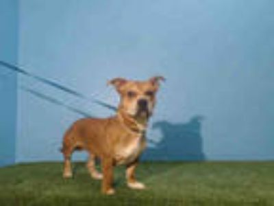 Adopt *SCRAPPY DOO a Brown/Chocolate - with White American Pit Bull Terrier /