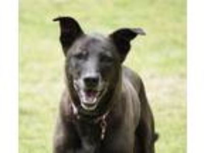 Adopt Rudy Harper a Labrador Retriever, Border Collie