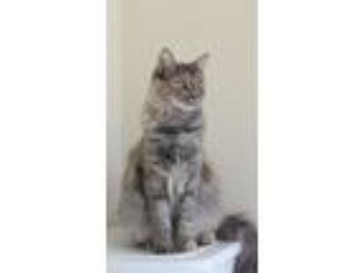 Adopt Pandora a Cream or Ivory (Mostly) Domestic Mediumhair cat in Mentone