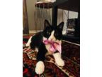 Adopt Ducky a Black & White or Tuxedo American Shorthair cat in Streamwood