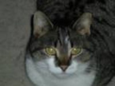 Adopt Lucky a Spotted Tabby/Leopard Spotted Domestic Mediumhair / Mixed cat in