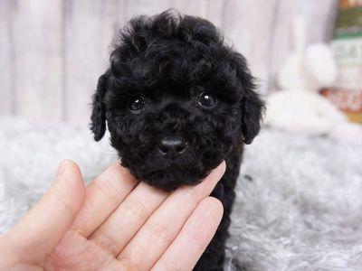 Jackpot - Male Poodle ($1,800)