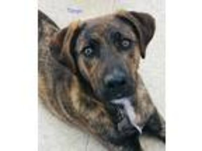 Adopt Tango a Brindle Coonhound (Unknown Type) dog in Natick, MA (25659946)