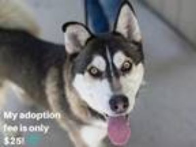 Adopt JUPITER a Black - with White Husky / Mixed dog in Martinez, CA (25557183)