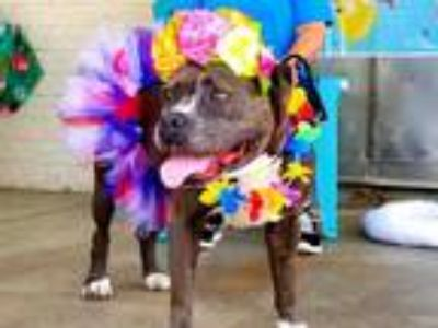 Adopt *BRIDGETTE a Gray/Blue/Silver/Salt & Pepper American Pit Bull Terrier /