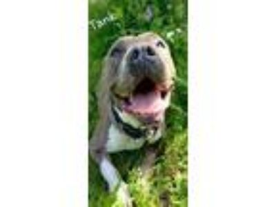 Adopt tank a Gray/Blue/Silver/Salt & Pepper American Pit Bull Terrier / Mixed