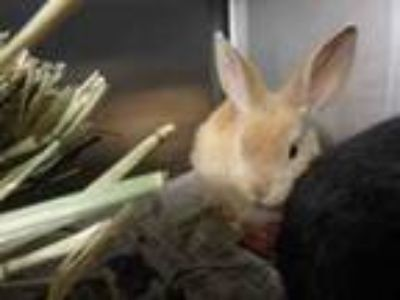 Adopt GINGER a Bunny Rabbit