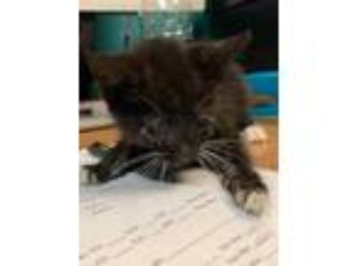 Adopt Pony a All Black Domestic Shorthair / Domestic Shorthair / Mixed cat in