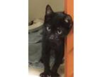 Adopt Bandy a All Black Domestic Shorthair / Domestic Shorthair / Mixed cat in