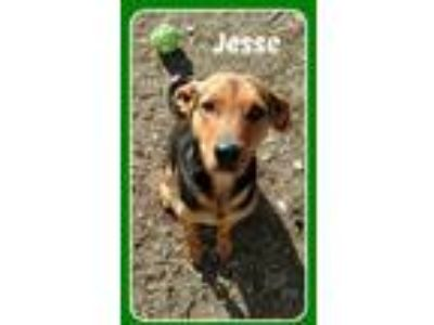 Adopt JESSE a German Shepherd Dog, Hound