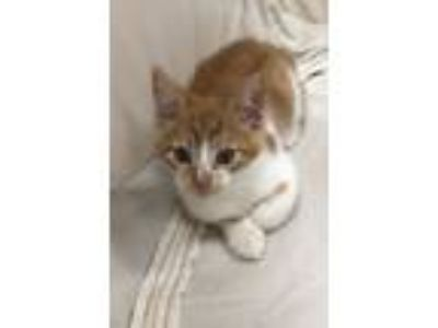Adopt Tucker a Orange or Red (Mostly) Domestic Shorthair / Mixed (short coat)