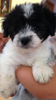 Havanese puppies left