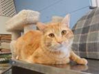 Adopt Chappie a Domestic Short Hair