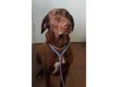 Adopt Maggie a Brown/Chocolate German Shorthaired Pointer / Labrador Retriever /