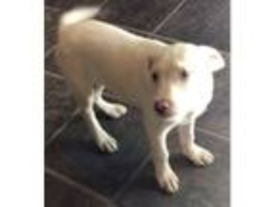 Adopt Tory a Tan/Yellow/Fawn - with White Labrador Retriever / Mixed dog in East