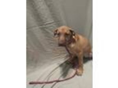Adopt Miracle a Tan/Yellow/Fawn - with Black Hound (Unknown Type) / Black Mouth