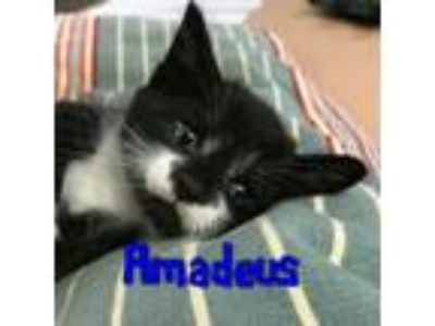 Adopt Amadeus a Domestic Short Hair