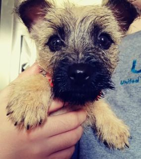 Cairn Terrier PUPPY FOR SALE ADN-94600 - Female Cairn Terrier in Cleveland Ohio