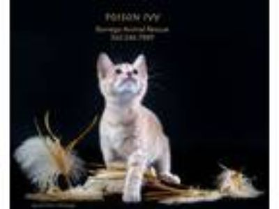 Adopt POISON IVY a Domestic Short Hair, Tabby