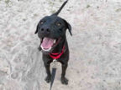 Adopt SOLANGE a Black Labrador Retriever / Mixed dog in Fort Lauderdale
