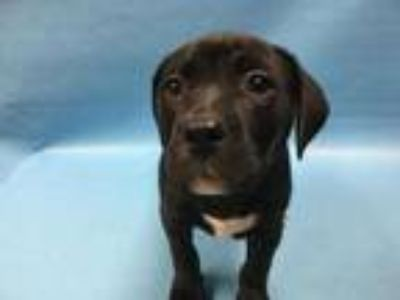 Adopt Tulip a Brown/Chocolate American Pit Bull Terrier / Mixed dog in Coon