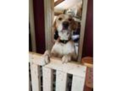 Adopt Rizwald a Great Pyrenees, Labrador Retriever