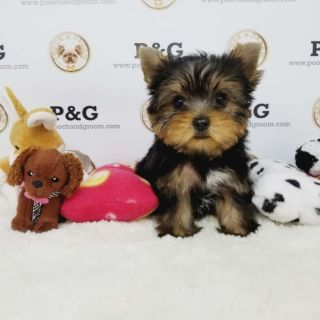 Yorkshire Terrier PUPPY FOR SALE ADN-95877 - YORKSHIRE TERRIER VINCE MALE
